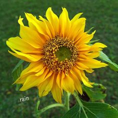 #natureloversgallery #blooming_petals #rainbow_petals #ig_flowers #_flowerswolrd_ #flowers_magazin #flowers_lovers #naturelovers #yellow_flowers by rain_colors_store