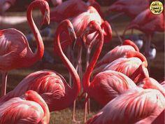 Gösterişli renkleriyle ve uzun boyunlarıyla dikkat çeken flamingolar iyi birer yüzücüdürler. Flamingoların perde ayakları yüzmelerini kolaylaştırır.