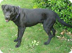 Red Bluff, CA - Labrador Retriever Mix. Meet GRADY a Dog for Adoption.