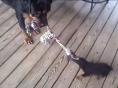 Gentle Rottweiler plays tug-of-war with puppy (VIDEO) » DogHeirs | Where Dogs Are Family « Keywords: Rottweiler, tug-of-war, tuggies, Puppy