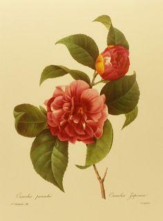 Vintage Flower Print, Variegated Camellia, Redoute Botanical Illustration (Marie Antoinette Court Artist) Plate No. 16, Easy-to-Frame 9 x 12. $5.00, via Etsy.