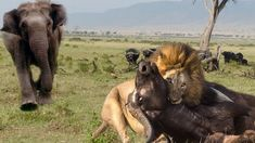 Unbelievable Elephant Saves Buffalo From 30 Lions Hunting -  Idiot's Com...