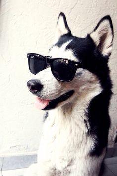 Nice dog with sunglasses