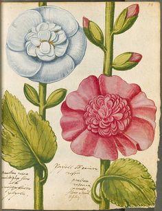 Malva rosea flore albo and Malva rosea incarnato flore from Hortulus Monheimensis