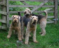 OMG three beautiful Airedales out in the yard , look at those adorable faces♥