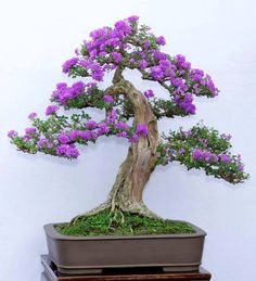 Stunning Purple Flowering Bonsai Tree                                                                                                                                                                                 Mais