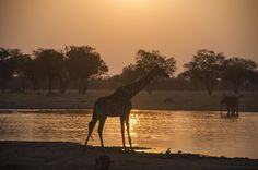 """Golden Glow"" by Richard Nickel: As the sun was slowly setting in Hwange National Park, a giraffe appeared at the water hole. As we maneuvered into position the sun provided a nice reflection on the water and everything seemed to be bathed in a golden glow.  This photo was taken on a trip to Zimbabwe with Nat Hab."