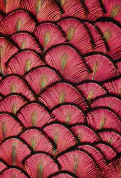 """musts: """"by © Michael Fitzsimmons peacock feathers """" Patterns In Nature, Beautiful Patterns, Textures Patterns, Color Patterns, Red Feather, Peacock Feathers, Feather Texture, Peacock Colors, Color Fuchsia"""