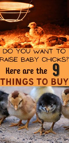 Learning how to raise baby chicks starts with knowing what you need to buy. Chicks can't live without a heat lamp, and you need to have a brooder set up. Here are 9 supplies you need to buy to take care of baby chicks. #RaisingChicks