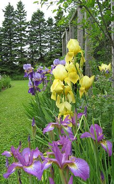 Irises... by bstudio18, via Flickr