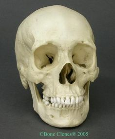 Human Female African-American Skull (The Evolution Store)