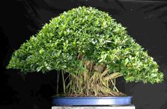 Bonsai in Bloom These are small trees. Culture of growing bonsai tree is a very long time - the Japanese were engaged in this century. Bonsai Ficus, Indoor Bonsai Tree, Bonsai Trees, Garden Trees, Trees To Plant, Garden Plants, Easy Care Indoor Plants, Japanese Bonsai Tree, Baumgarten