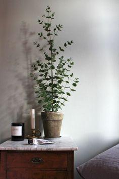 deko ideen Eukalyptus als Zimmerpflanze