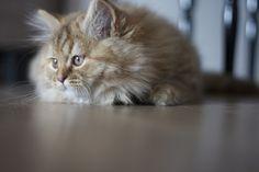 Hasley Highland straight - www.chatetchaton.fr #cat#britishlonghair#chaton#instagood#love#petstagram#photooftheday#instamood#instacat#ilovemycat#scottishfold#persan#instaphoto#instadaily#instabest#highlandfold#catslovers#lolcats#neko#gato#mycat#catoftheday#britishshorthair#meow#supacats#catsofinstagram#instacanvas#me#ねこ#猫