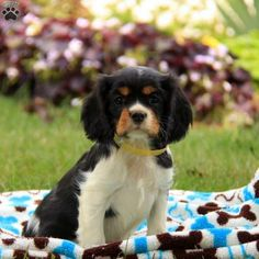 Piers is a very happy Cavalier King Charles Spaniel puppy who wags his tail with glee. Gentle in spirit and grand in personality, Piers can't wait to meet his forever family.  He can be ACA registered, is vet checked, up to date on shots and wormer, plus the breeder provides a 30 day health guarantee. This guys Mom is the Stoltzfus family pet. He is being family raised with the Stoltzfus children and gets lots of love and attention. Contact the breeder today to welcome Piers into your heart…