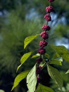 Plant This in new front bed: AMERICAN BEAUTYBERRY  Callicarpa americana   Native Texas hardy shade flourishing shrub. Large, ovate leaves and clusters of striking purple fruits thru the winter. Natural understory plant found in bottomland thickets and forests. Grows 4-9 feet tall, 3-6 feet wide. Part sun to full shade. Moist soil. Zone 5-9.