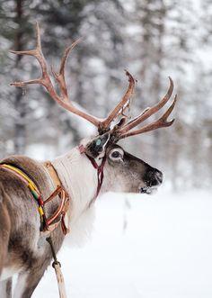 Voyage en laponie finlandaise. Une journée avec les rennes...