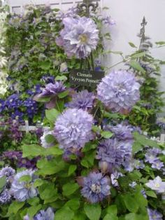 1000 images about clematis from our gardens on pinterest. Black Bedroom Furniture Sets. Home Design Ideas