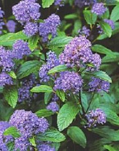Ceanothus, commonly known as California lilac, is a wonderful shrub with beautiful pastel shades of showy flowers. Learn how to grow and propagate this glorious plant.