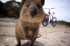 Квока: маленький кенгуру з великою посмішкою