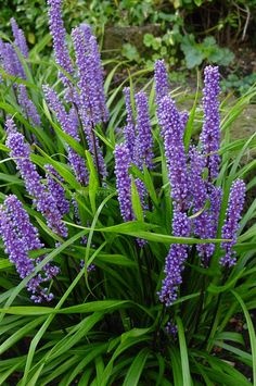 Liriope muscari - Lily Turf. (H) 0.6m x (W) 0.45m. Water requirements: Highly drought tolerant. Position: Full Sun/Part Shade (Actually very shade tolerant). The perfect plant for a shady spot. Will flower more profusely with more sun exposure.