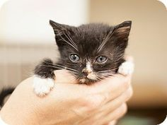 ADOPTED! Meet Landon, a male kitten for adoption at East Lake Pet Orphanage (#ELPO).