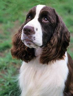 Image result for spaniels breeds