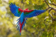 Red-and-green macaw, Buraco das Araras, Brazil Canvas Wall Art, Wall Art Prints, Poster Prints, Framed Prints, Canvas Prints, Parrot Wings, Landscaping Images, Great Photographers, Colour Images