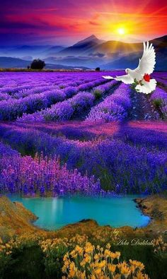 Swan Flying Over Purple Flowers Field Canvas Wall Art - Canvas Wall Decor Beautiful Nature Pictures, Amazing Nature, Nature Photos, Beautiful Birds, Beautiful Landscapes, Beautiful World, Art Nature, Beautiful Sunrise, Flowers Nature