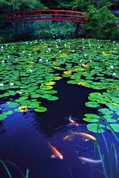 京都新聞写真コンテスト 睡蓮と鯉