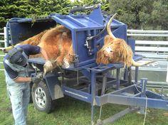 Bairnsley Highlands - Highland Cattle Feet Problems
