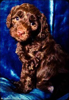 chocolate labradoodle puppy Melt. Pinterest Disney