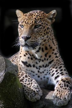 Leopard, by Chris Humphries Most Beautiful Animals, Beautiful Cats, Beautiful Creatures, Animals And Pets, Baby Animals, Cute Animals, Wild Animal Wallpaper, Wild Animals Photography, Reptiles