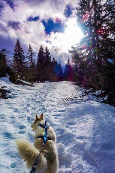Traineau cani cross berger allemand jura rousses