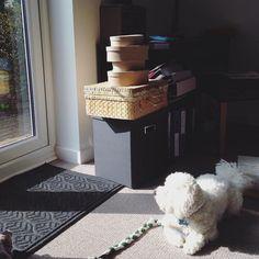 Catching some rays. #sunbathe #spring #dogsaremytherapy #bichon #dogsofinstagram #puppiesofinstagram #dogstagram #pupstagram #ilovedogs #ilovepuppies #poserdog #handsomedog #dogmodel #bichonworld #puppytrip