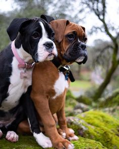 Cute dogs boxer , süßer hundeboxer , boxeur mignon chiens , lindos p. Cute Dogs Breeds, Cute Dogs And Puppies, Dog Breeds, Doggies, Puppies Tips, Cute Dog Memes, Funny Dogs, Funny Boxer Puppies, Boxer Dog Puppy