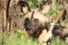 African Wild Dog - we sat with a pack of 17 early one morning - this is one of my favourite photo's