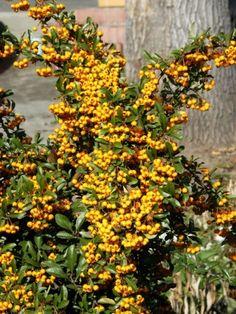 Pyracantha 'Soleil d'Or' ✓ direkt von der Baumschule ✓ Kauf auf Rechnung ✓ TOP-Qualität ✓ kaufen bei Gartencenter-Shop24 Plants, Open Window, Landscape Nursery, Planting, Calculus, Plant, Planets