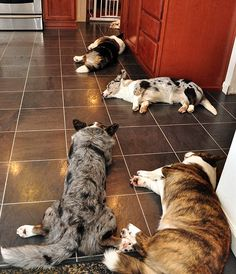 First, the Cardigan Corgis have dinner, then a nap. Corgi Husky, Welsh Corgi Puppies, Corgi Mix, Pembroke Welsh Corgi, Cute Dogs And Puppies, Baby Animals, Cute Animals, Cardigan Welsh Corgi, Dog Life