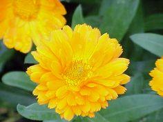 TEMA 1 – MATERIAS PRIMAS. Flores