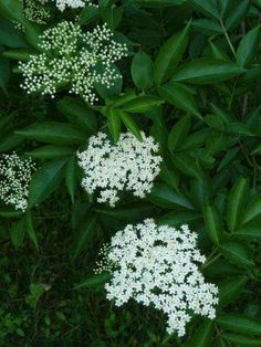 Herbal Gardening Ideas This year the International Herb Association has chosen elder (Sambucus spp.) as herb of the year for Find out the many reasons why we honor this ancient herbal tree. Elderberry And Elderflower, Elderberry Plant, Elderberry Syrup, Garden Trees, Garden Plants, Garden Retreat Ideas, Iron Plant, Herb Garden, Garden Gate