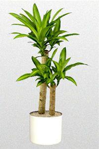 1000 id es sur le th me dracaena plant sur pinterest - Plante d interieur ikea ...