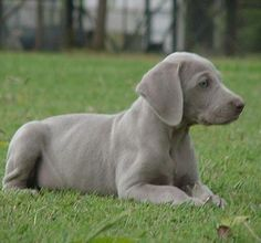 Weimaraner puppy! I wanna have these again some day. They're freaking gorgeous dogs.