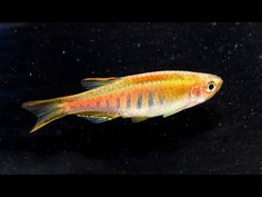 An excellent choice for a planted tank, Glowlight danios are exceptionally tight and directional schoolers that are also really rewarding to breed. Planted Aquarium, Aquarium Fish, Fish List, Outdoor Tub, Tropical Fish, Spotlight, Pets, Youtube, Animals