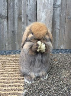 This is Mabel. A five week old holland lop.