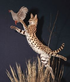 Funny Wildlife, felis-serval: Some awesome taxidermy by this...