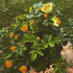 #yellowroses