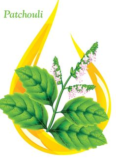 PATCHOULI OIL…The lingering musky-sweet, earthy aroma of #Patchouli makes a sensuous personal scent. The mood oil promotes creativity, balance and relieves anxiety. Add to hair & skin care blends to treat oily skin and dandruff.