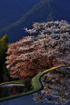 Cherry tree in full bloom, Mitake, Misugi town, Tsu, Mie, Japan