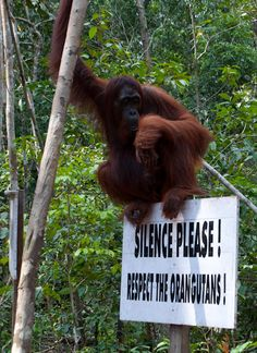Orangutan - Borneo.  On the top of my travel list Borneo to meet the gorgeous Orangutans.